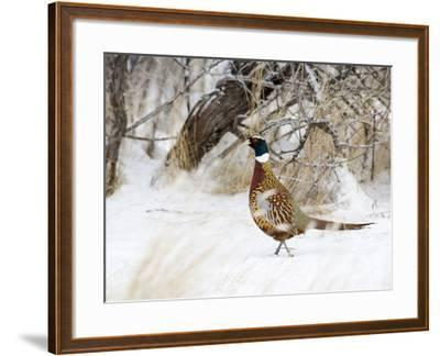 Rooster Ring-Necked Pheasant (Phasianus Colchicus), Montana, USA-Neal Mischler-Framed Photographic Print