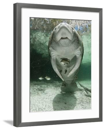 West Indian Manatee (Trichechus Manatus), Crystal River, Florida, USA-Marty Snyderman-Framed Photographic Print