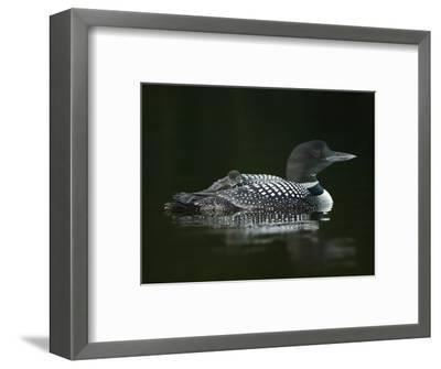 Common Loon with Baby on Back-Arthur Morris-Framed Photographic Print