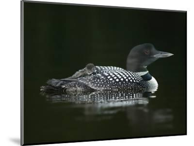 Common Loon with Baby on Back-Arthur Morris-Mounted Photographic Print
