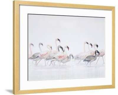 Lesser Flamingo (Phoeniconaias Minor) Adults and Young Wading Through Water-Arthur Morris-Framed Photographic Print