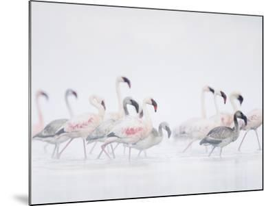 Lesser Flamingo (Phoeniconaias Minor) Adults and Young Wading Through Water-Arthur Morris-Mounted Photographic Print