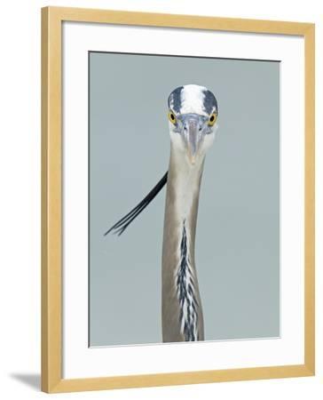 Great Blue Heron Head, Ardea Herodias, North America-Arthur Morris-Framed Photographic Print