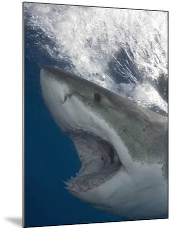 Great White Shark Head (Carcharodon Carcharias), Guadalupe Island, Mexico, Eastern Pacific Ocean-Andy Murch-Mounted Photographic Print