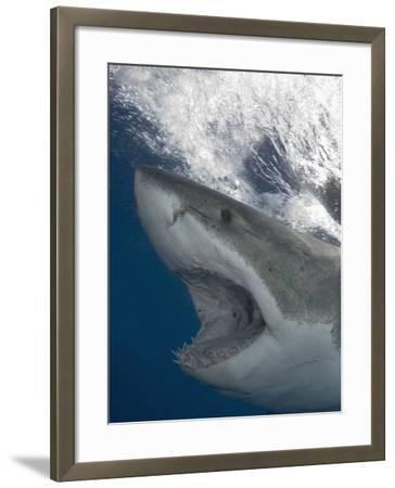 Great White Shark Head (Carcharodon Carcharias), Guadalupe Island, Mexico, Eastern Pacific Ocean-Andy Murch-Framed Photographic Print