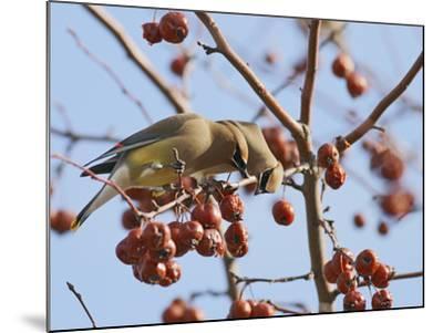 Cedar Waxwing (Bombycilla Cedrorum)-Robert Servranckx-Mounted Photographic Print