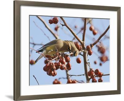 Cedar Waxwing (Bombycilla Cedrorum)-Robert Servranckx-Framed Photographic Print