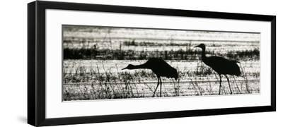 Sandhill Cranes Wading in a Marsh, Grus Canadensis, North America-Arthur Morris-Framed Photographic Print