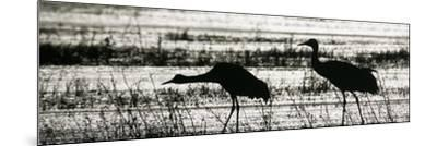 Sandhill Cranes Wading in a Marsh, Grus Canadensis, North America-Arthur Morris-Mounted Photographic Print
