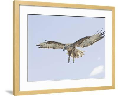 Galapagos Hawk (Buteo Galapagoensis) in Flight, Urbina, Isabella, Galapagos-Arthur Morris-Framed Photographic Print