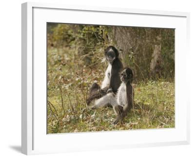 White-Bellied Spider Monkey (Ateles Belzebuth) Mother and Baby, Captive-Dave Watts-Framed Photographic Print