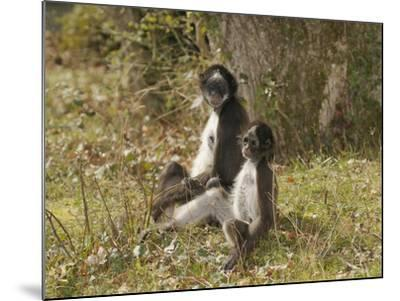 White-Bellied Spider Monkey (Ateles Belzebuth) Mother and Baby, Captive-Dave Watts-Mounted Photographic Print