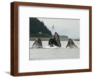 Humpback Whale Bubblenet Feeding,-Tom Walker-Framed Photographic Print