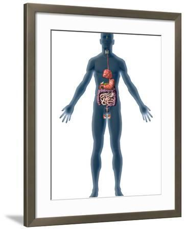 Human Male Figure Showing the Endocrine System-Carol & Mike Werner-Framed Photographic Print