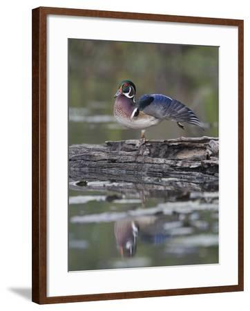 Male Wood Duck Stretching its Wing (Aix Sponsa), North America-Gustav Verderber-Framed Photographic Print