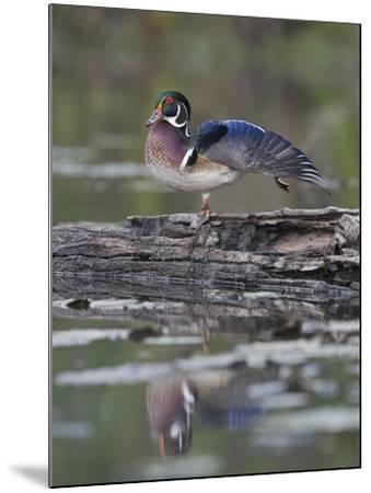 Male Wood Duck Stretching its Wing (Aix Sponsa), North America-Gustav Verderber-Mounted Photographic Print