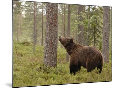 European Brown Bear (Ursus Arctos) Smelling a Scent Mark on a Tree, Finland-Dave Watts-Mounted Photographic Print