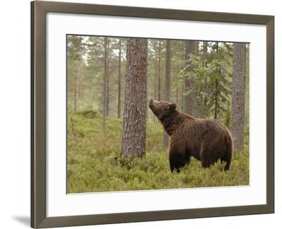 European Brown Bear (Ursus Arctos) Smelling a Scent Mark on a Tree, Finland-Dave Watts-Framed Photographic Print