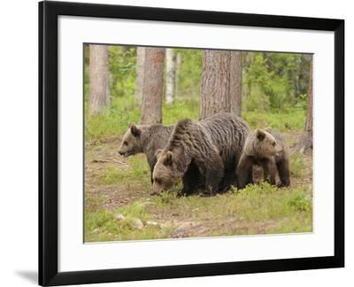 European Brown Bear (Ursus Arctos) Mother and Cubs, Finland-Dave Watts-Framed Photographic Print