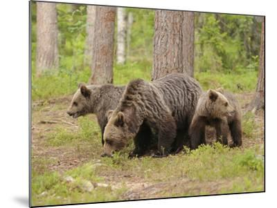 European Brown Bear (Ursus Arctos) Mother and Cubs, Finland-Dave Watts-Mounted Photographic Print