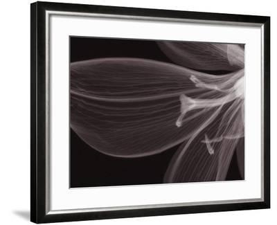 X-Ray of a Tiger Lily Flower-George Taylor-Framed Photographic Print