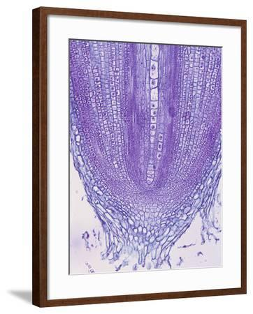 Longitudinal Section of a Gladiolus Root Tip and Root Cap Cells, a Monocot, LM X35-Biodisc-Framed Photographic Print
