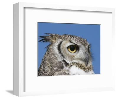 Great Horned Owl (Bubo Virginianus), San Juan Mountains, New Mexico-Tom Walker-Framed Photographic Print