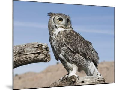 Great Horned Owl (Bubo Virginianus), San Juan Mountains, New Mexico-Tom Walker-Mounted Photographic Print