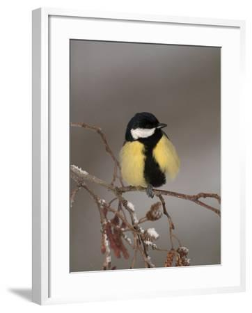 Great Tit on a Snowy Branch (Parus Major), Pyrenees, France-Dave Watts-Framed Photographic Print