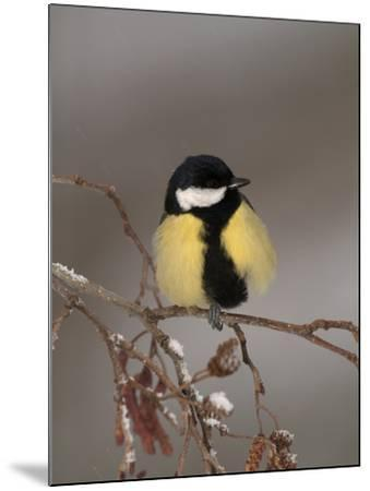 Great Tit on a Snowy Branch (Parus Major), Pyrenees, France-Dave Watts-Mounted Photographic Print
