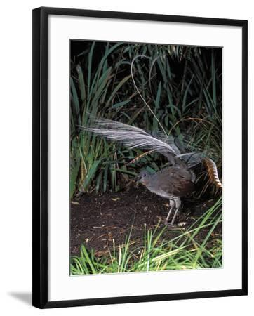 Superb Lyrebird Singing and Displaying (Menura Novaehollandiae), Healesville Sanctuary, Victoria-Dave Watts-Framed Photographic Print