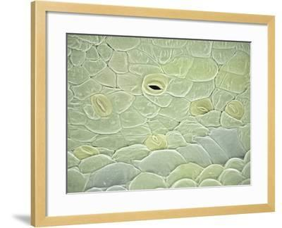 Hibiscus (Hibiscus Schizopetalus) with Open and Closed Stomata, SEM-Scientifica-Framed Photographic Print