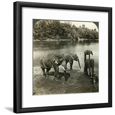 Elephants, Sri Lanka (Ceylo)-Underwood & Underwood-Framed Photographic Print