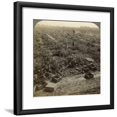 Drying Raisins, Fresno, San Joaquin Valley, California, USA-Underwood & Underwood-Framed Photographic Print