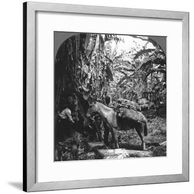 Harvesting Bananas, Costa Rica, 1909--Framed Photographic Print