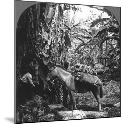 Harvesting Bananas, Costa Rica, 1909--Mounted Photographic Print