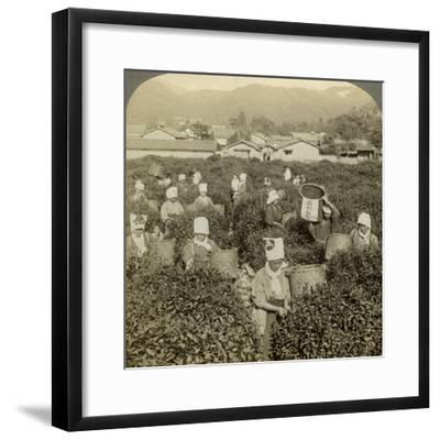 Girls Picking Tea, Uji, Japan-Underwood & Underwood-Framed Photographic Print