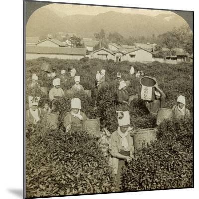 Girls Picking Tea, Uji, Japan-Underwood & Underwood-Mounted Photographic Print