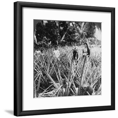 Pineapple Fields, Mayaguez, Puerto Rico-Underwood & Underwood-Framed Photographic Print