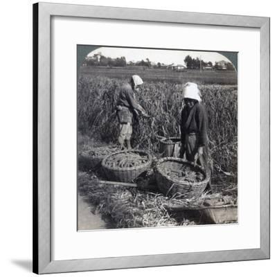 Peasants Cutting Millet, Near Yokohama, Japan, 1904-Underwood & Underwood-Framed Photographic Print