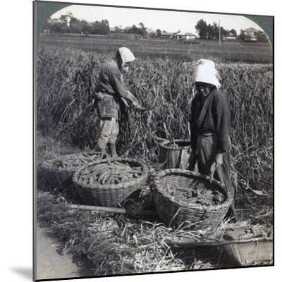 Peasants Cutting Millet, Near Yokohama, Japan, 1904-Underwood & Underwood-Mounted Photographic Print