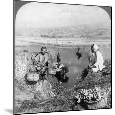 Men Gathering Rushes Near Suzukawa, Fujiyama, Japan, 1904-Underwood & Underwood-Mounted Photographic Print