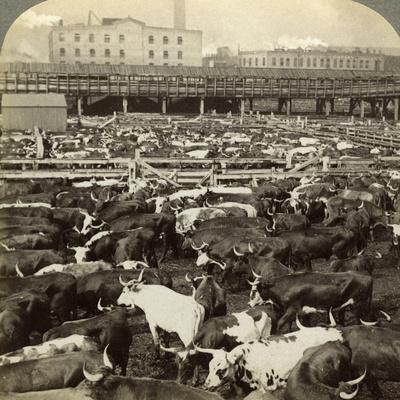 Cattle, Great Union Stock Yards, Chicago, Illinois, USA-Underwood & Underwood-Framed Photographic Print
