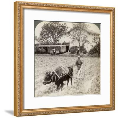 Ploughing Flooded Ground for Rice Planting, North of the Main Road at Uji, Near Kyoto, Japan, 1904-Underwood & Underwood-Framed Photographic Print