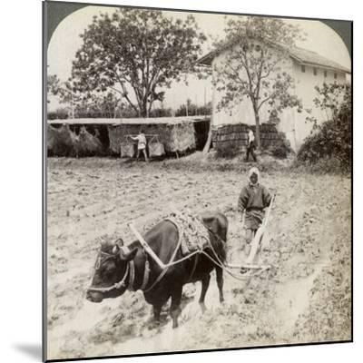 Ploughing Flooded Ground for Rice Planting, North of the Main Road at Uji, Near Kyoto, Japan, 1904-Underwood & Underwood-Mounted Photographic Print