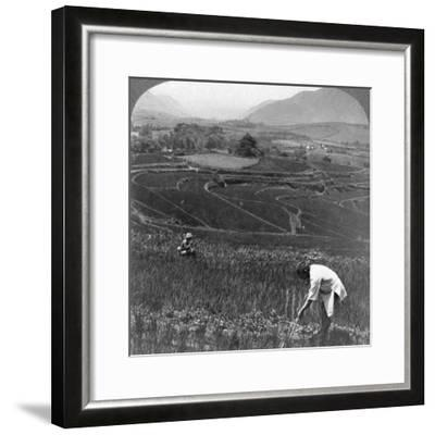 Fertile Rice Fields in the Old Crater of Aso-San, Japan, 1904-Underwood & Underwood-Framed Photographic Print