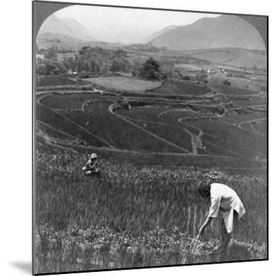 Fertile Rice Fields in the Old Crater of Aso-San, Japan, 1904-Underwood & Underwood-Mounted Photographic Print