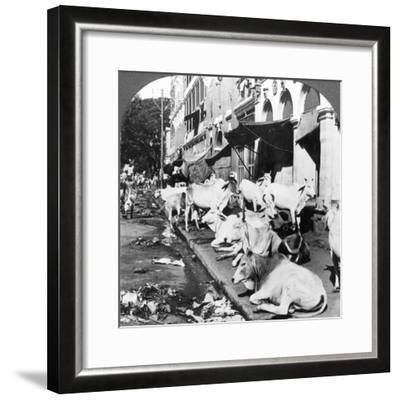 How Hindu Cows Enjoy Life on Harrison Street, Calcutta, India, 1900s-Underwood & Underwood-Framed Photographic Print