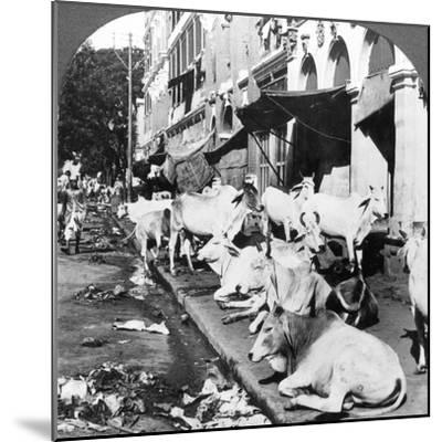 How Hindu Cows Enjoy Life on Harrison Street, Calcutta, India, 1900s-Underwood & Underwood-Mounted Photographic Print