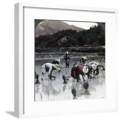 Transplanting Rice in a Paddy Field, Japan, 1904-Underwood & Underwood-Framed Photographic Print